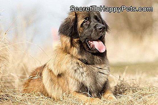 Leonberger Dog Breed Fakty I Informacje