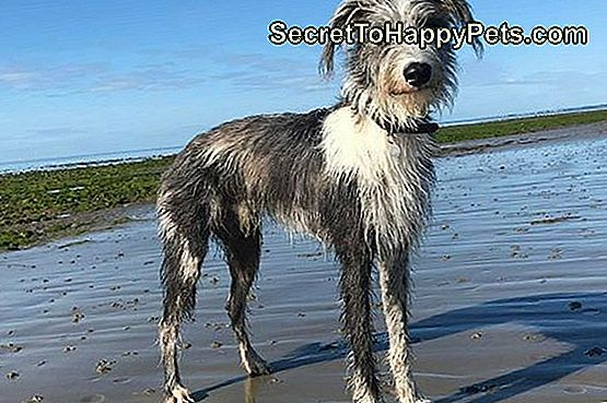 Lurcher Dog Breed Fakty I Informacje
