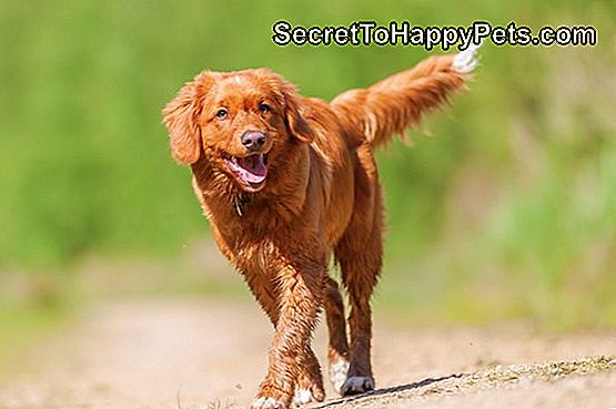 Nova Scotia Duck Tolling Retriever op een bospad