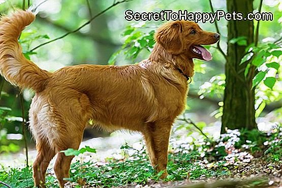 Nova Scotia Duck Tolling Retriever-puppy in het bos