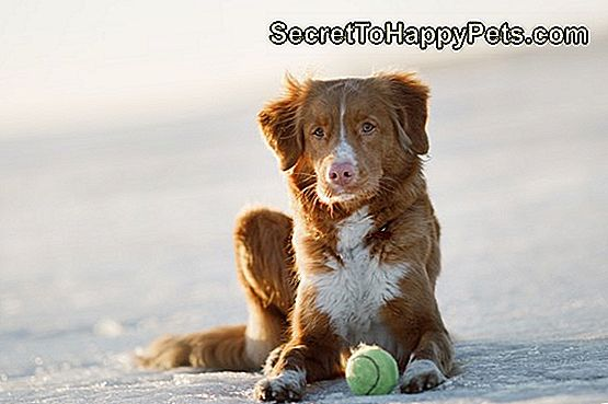 Nova Scotia Duck Tolling Retriever Dog na ledu