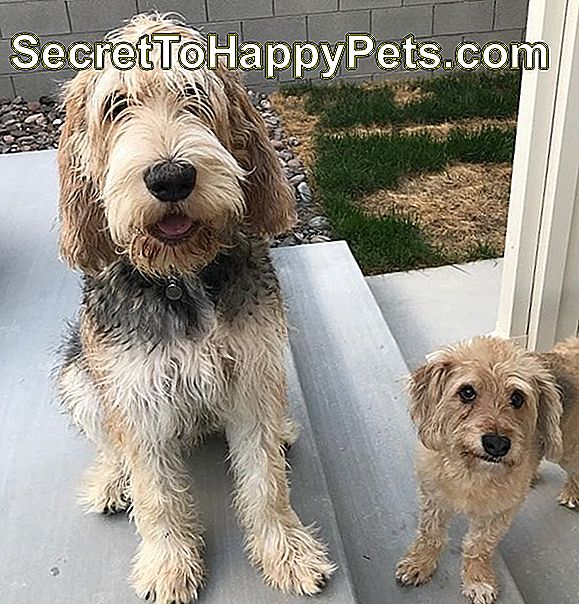 Mutt ile Otterhound