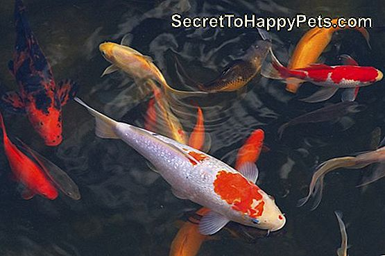 Koi Carps Poisson nageant japonais (Cyprinus carpio)