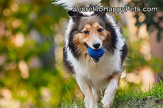 Shelties vs. Collies: srsť