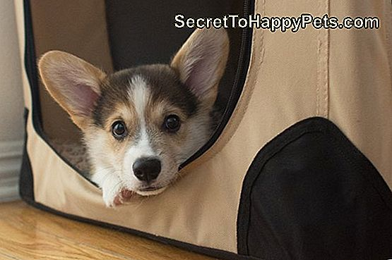 Pembroke Welsh Corgi Puppy in Crate