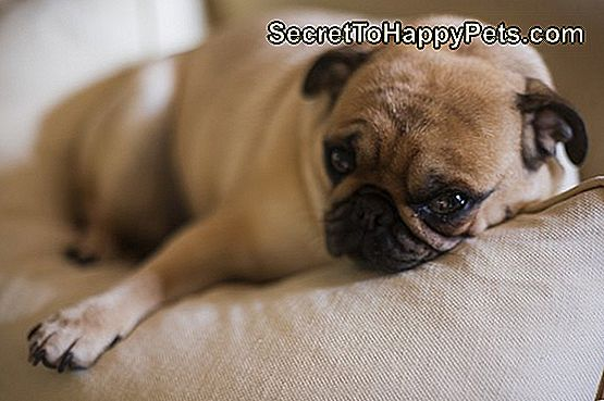 Extreem Tekenen Van Een Miskraam Voor Honden 🐶 Nl.SecretToHappyPets.com @MT15