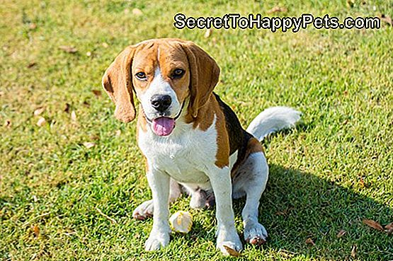 Types de beagles: chien