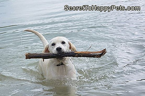 labrador hond in water