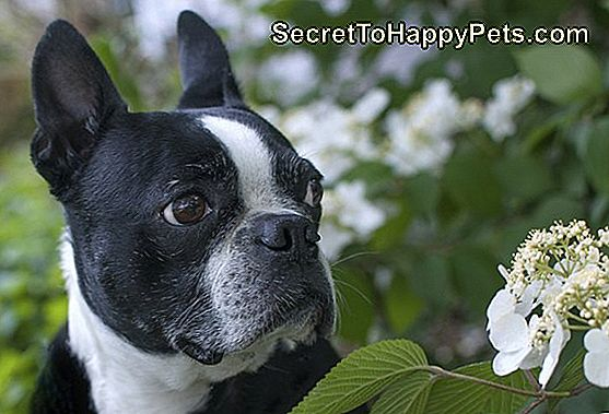 Boston Terrier in Blumen
